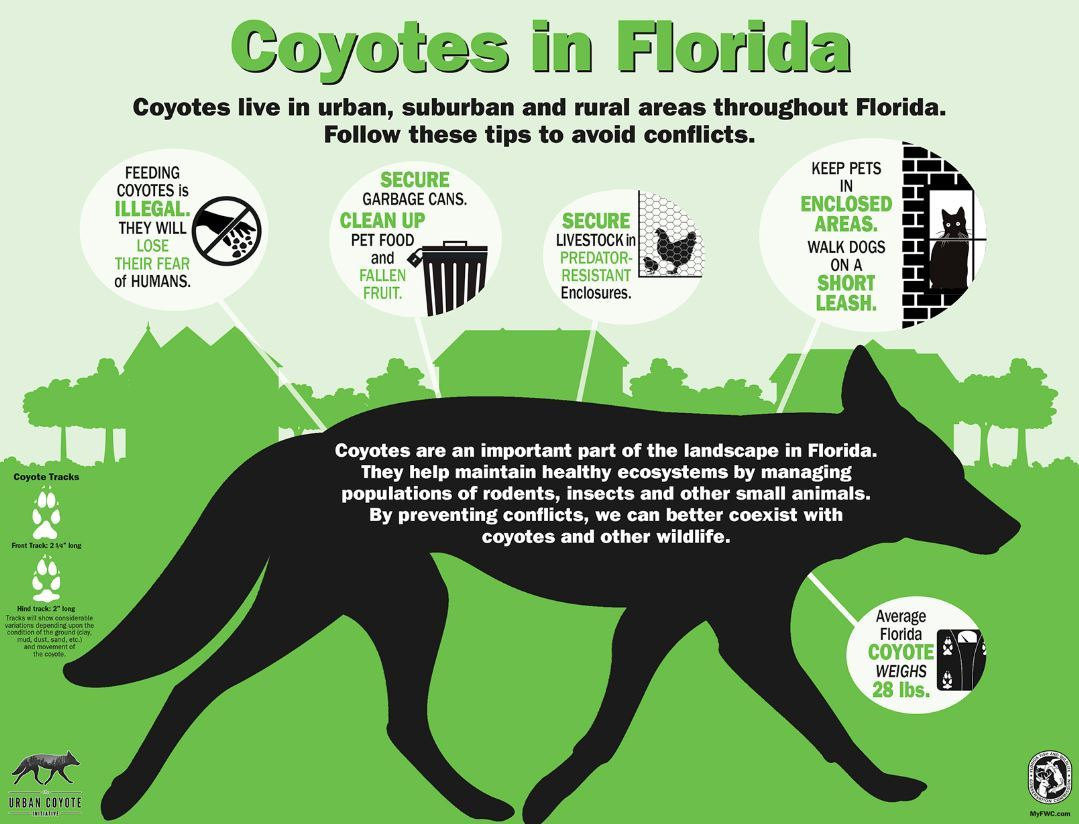 Coyote Safety Tips:  Keep pets indoors, secure garbage, don't feed coyotes, secure livestock.